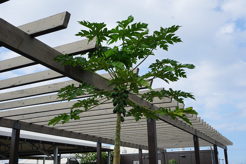 羽田から到着した場合の到着ロビー前に生えているパパイヤの木は待ち合わせ場所によさそうだし、何より実が美味しそう