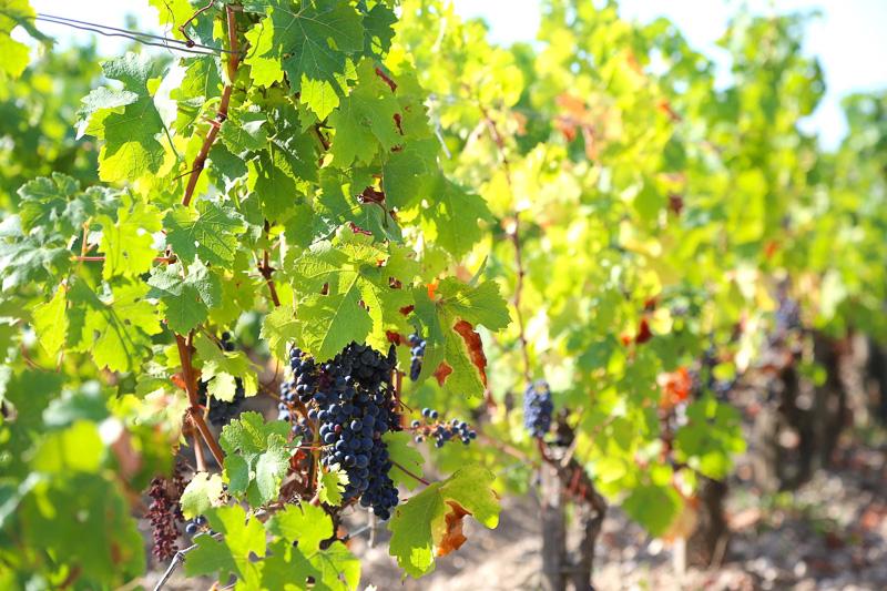 ブドウ畑やワイナリーが広がる景色のなかを走る