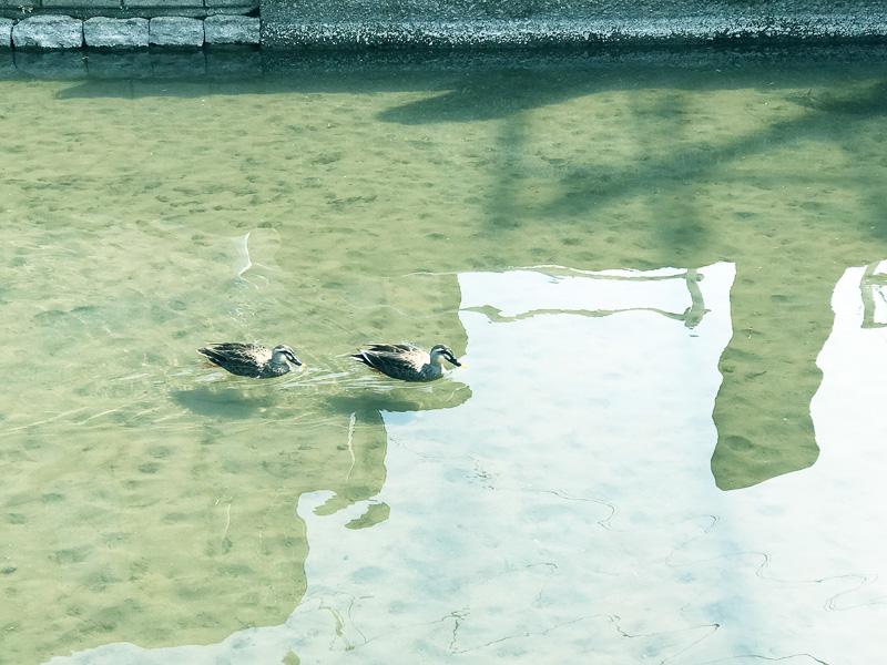 川には気持ちよさそうに泳ぐカモの姿が