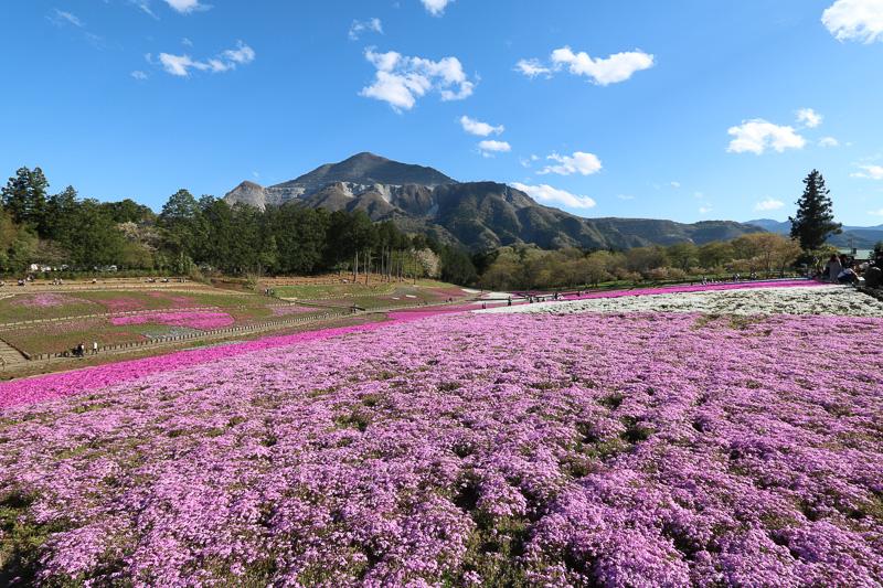 芝桜の丘。バックにある山は武甲山