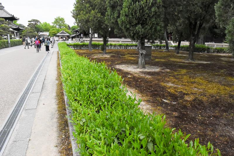 三門と本堂の間には小さな茶畑が。聖一国師が宋から持ち帰り、静岡で広めたことで静岡茶が生まれたという