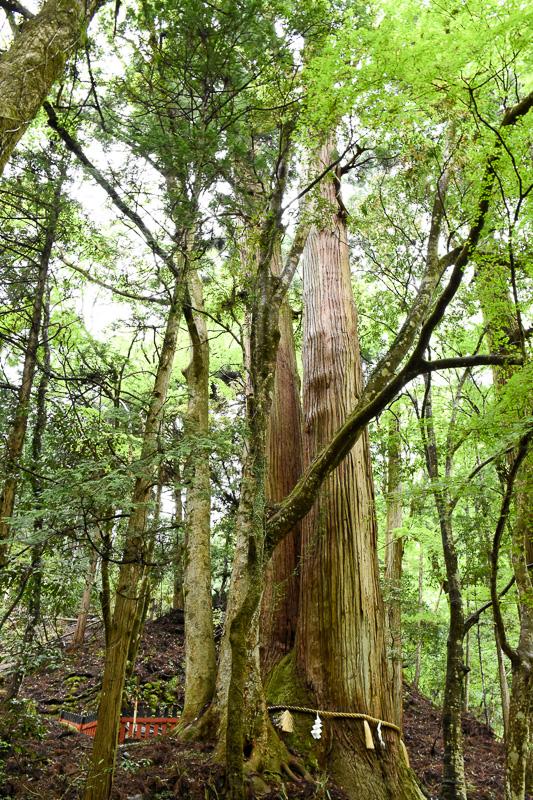 相性の大杉。同じ根から生えた2本の杉で、樹齢1000年とのこと