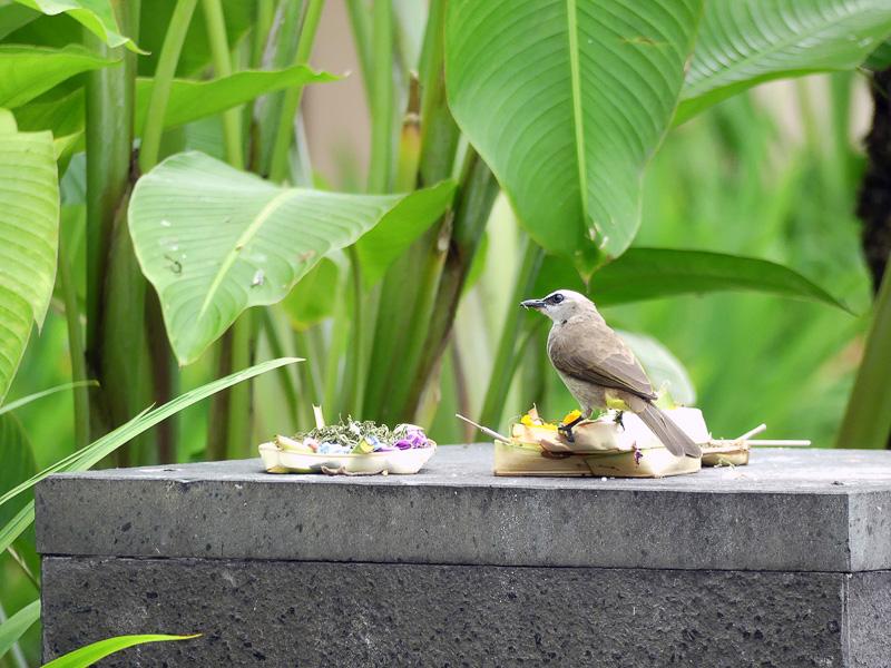 お供え物をつまみ食いにやってくる鳥