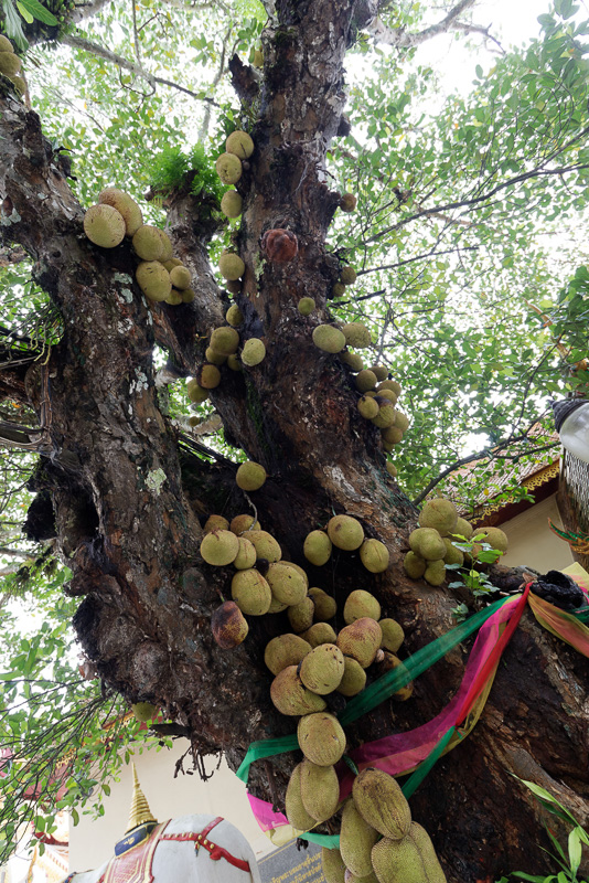 ちなみにこちらがジャックフルーツ。木の幹にくっつくように実っているのが不思議だ