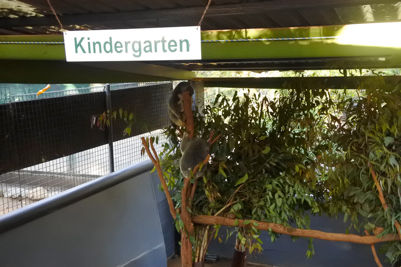 「Kindergarten(幼稚園)」にいる小さなコアラたち