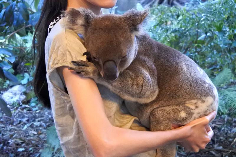 感動のコアラ抱っこの瞬間。ふわふわ&ずっしり。爪は長めで全体を観察しながら抱っこしてみてほしい
