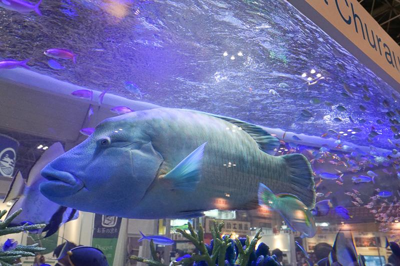 水槽では巨大な魚も見ることができる。ナポレオンフィッシュの通称で知られるメガネモチノウオ
