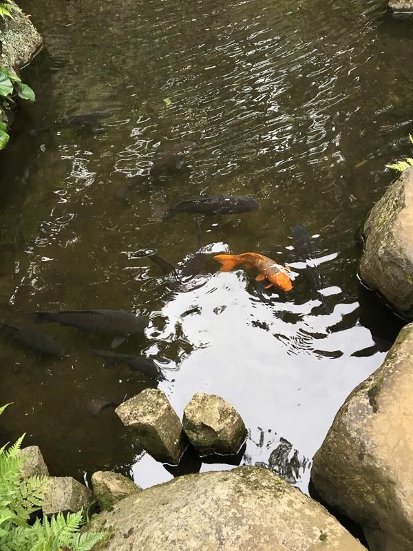 綺麗な湧き水に鯉ものびのび