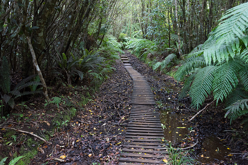 前半は森のなかを進む。ほとんどがカマヒの木であるというが、途中、靴紐が切れたときに使えるという丈夫な葉のランスウッド(写真左下)や、ファンテイル(ニュージーランドオウビビタキ)という鳥がついばみに来るというカラムの実(写真中央下)などの説明を聞く。写真右下は日本でもおなじみのメジロの亜種のようだが、脇の赤みが日本の種より赤いような気がする