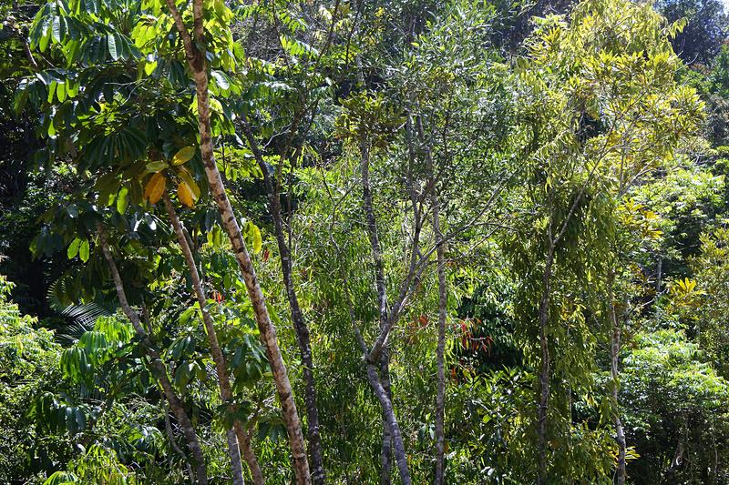 写真では分かりづらいが、その後運よく「ユリシスバタフライ」に遭遇。あっという間に遠くに。鮮やかなカラーながら熱帯雨林に溶け込んでいた