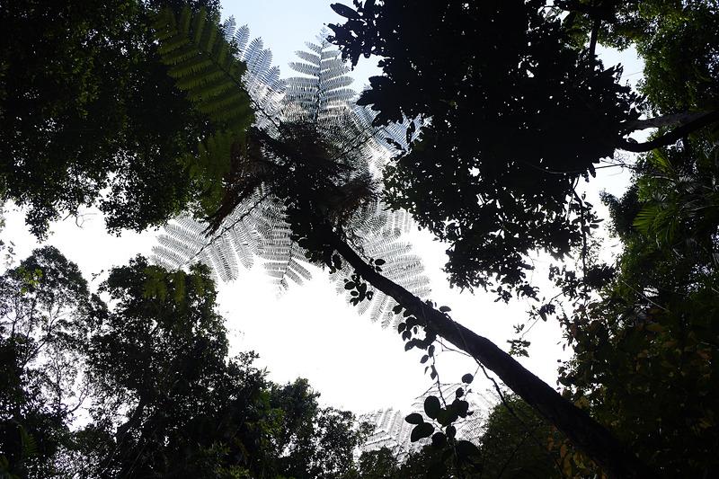 約1億5000万年前からの姿そのままの「木生シダ」。この熱帯雨林の古さを象徴する植物だ