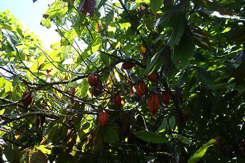 「熱帯果樹園」ではカカオやレモネードツリーなどをはじめ40種類以上のフルーツを栽培する様子が楽しめる