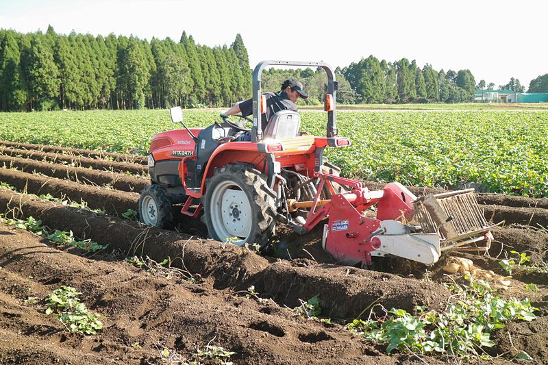 トラクターを使った芋掘り。黄金千貫が土の中から姿を現わす