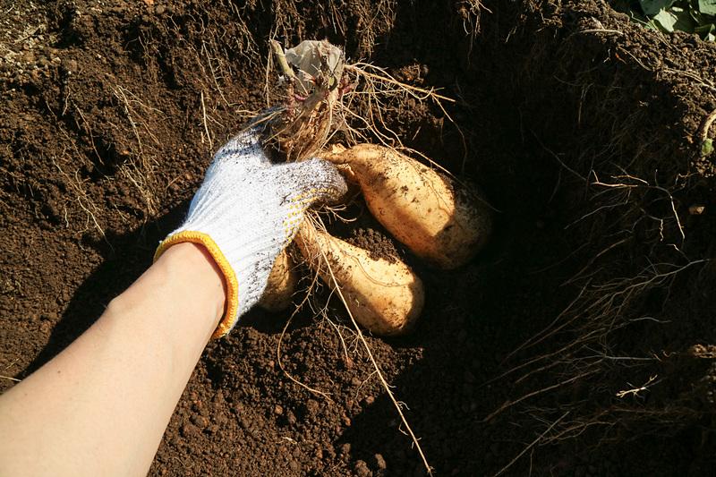 土質はサラサラとしているので、手で簡単に掘り進めることができる