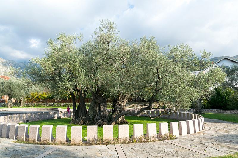 樹齢2000年のオリーブの木