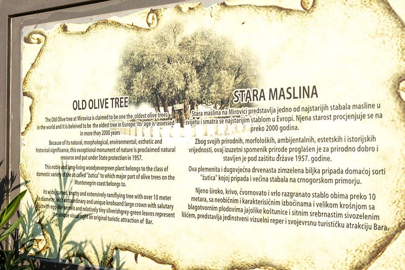 なんの変哲もない通りに世界最古という樹齢2000年以上というオリーブの木がある。その樹齢については専門機関による認定も受けている