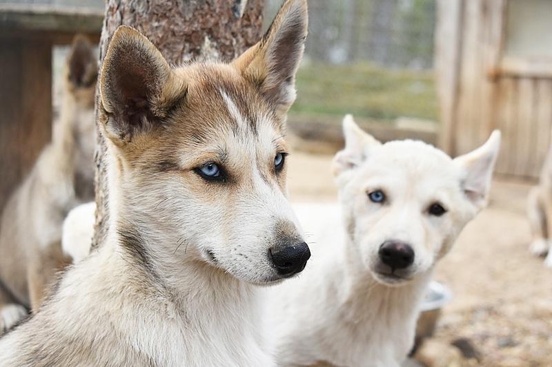 シベリアン・ハスキーやアラスカン・ハスキーなど犬種もいろいろ