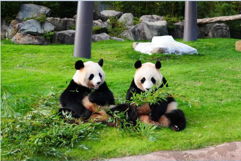 アドベンチャーワールドのジャイアントパンダ。現在5頭が飼育されている