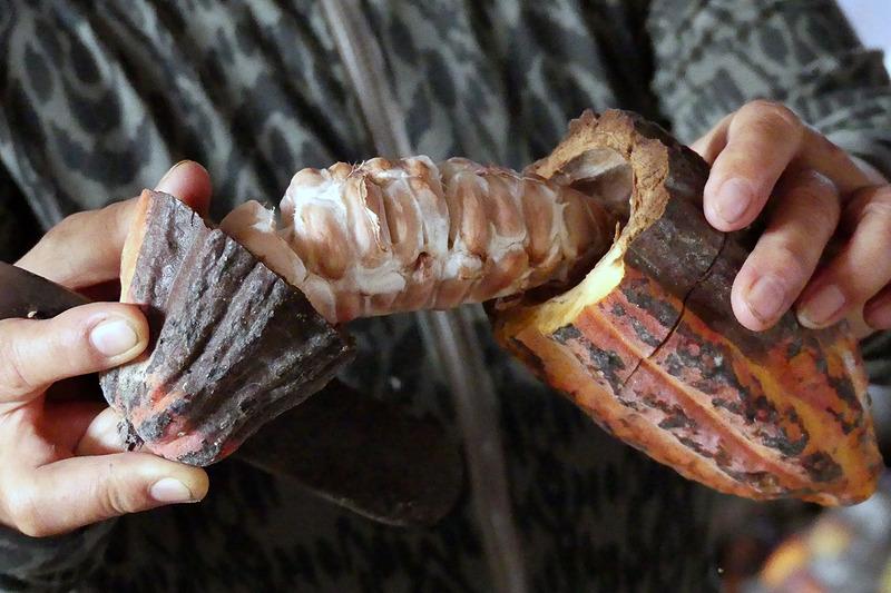 カカオポットのなかには30~40粒のカカオ豆