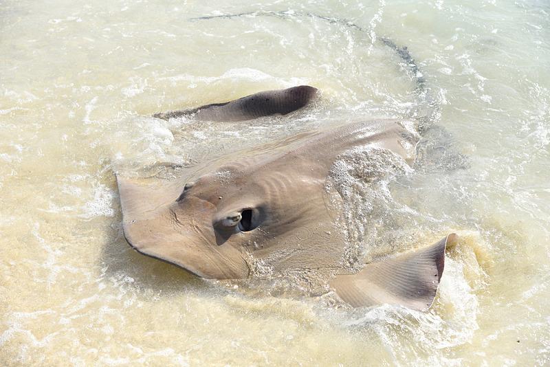 滞在中は2匹の大きなピンクテール・ウィップレイがブラックチップシャークたちを引き連れビーチに遊びに来てくれた