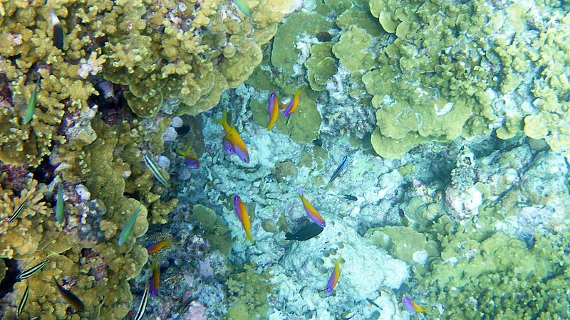エバンスアンティアスがサンゴの奥に集まっていた
