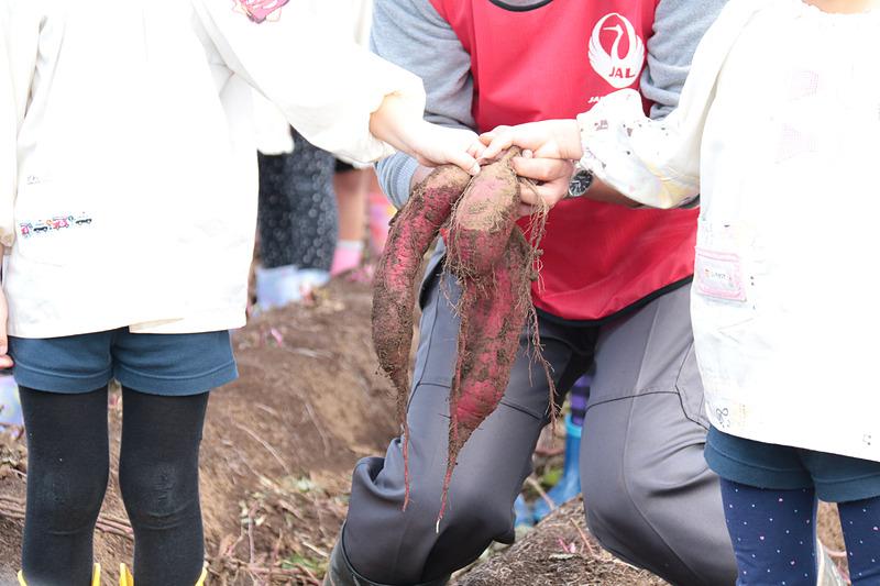 初堀りの瞬間。JAL Agriportの鎌形社長と一緒にサツマイモを掘ったのは、園児代表の2人