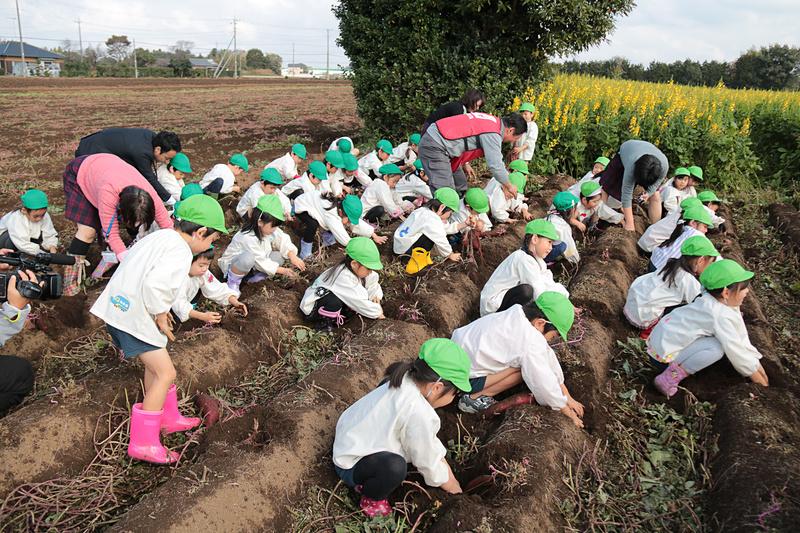JAL Agriportの鎌形社長も先生たちと一緒に園児たちの芋掘りを手伝い、園児たちから「社長、手伝ってよ」と声をかけられていた