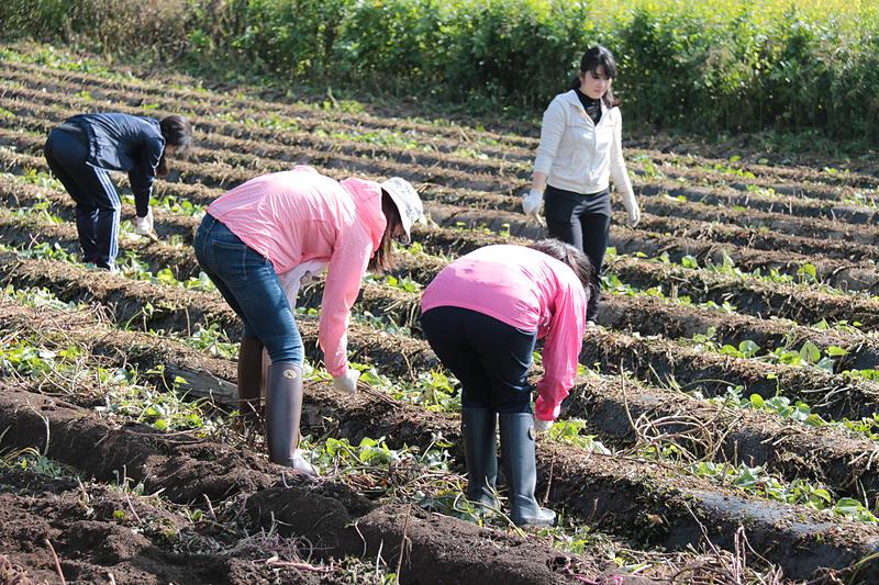 初収穫イベントが行われた当日も、JALグループ社員のボランティア約30名が収穫作業を行っていた