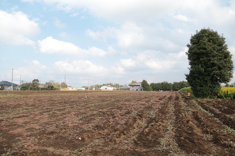 収穫中の広大なサツマイモ畑と緑肥。緑肥の間に駈られている部分があったが、これは上から見ると「JAL」の文字になっているとのことで、ドローンで上空から撮影した映像を近日Webで公開する予定とのことだ