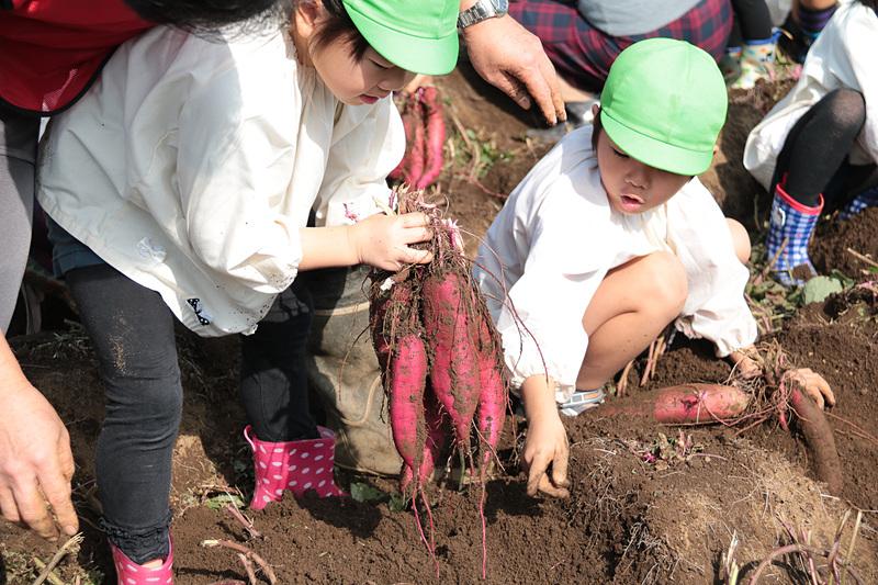 聖徳大学附属成田幼稚園の園児46名とJALグループのボランティアスタッフらがサツマイモ掘りを楽しんだ