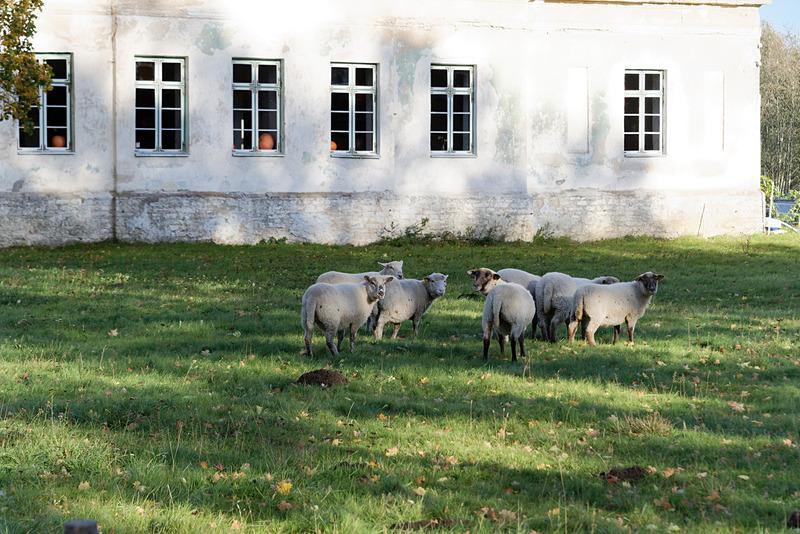 店のすぐ横では羊が放し飼いになっていた