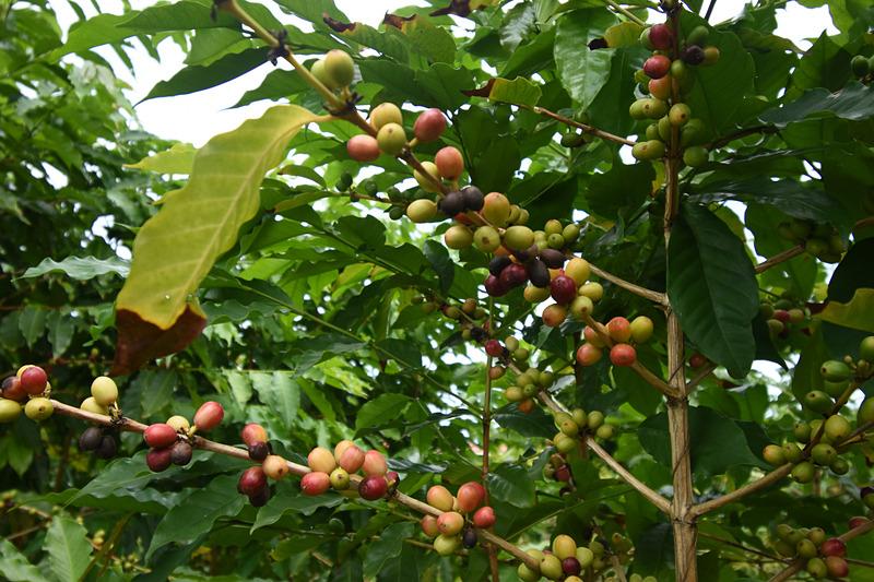 古くから園内にあるコーヒーの木