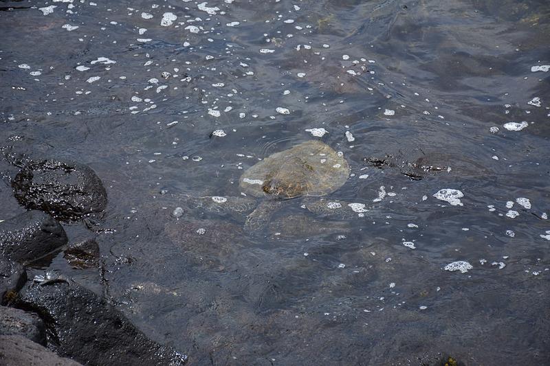 小さなウミガメがたくさん遊び(食事?)に来ていた