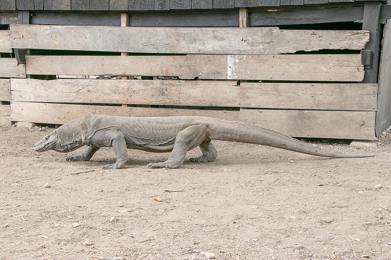 起き上がって移動すると、コモドドラゴンの大きさを実感して、やはり少々恐いが、ここまで接近できる機会はそうないだろう
