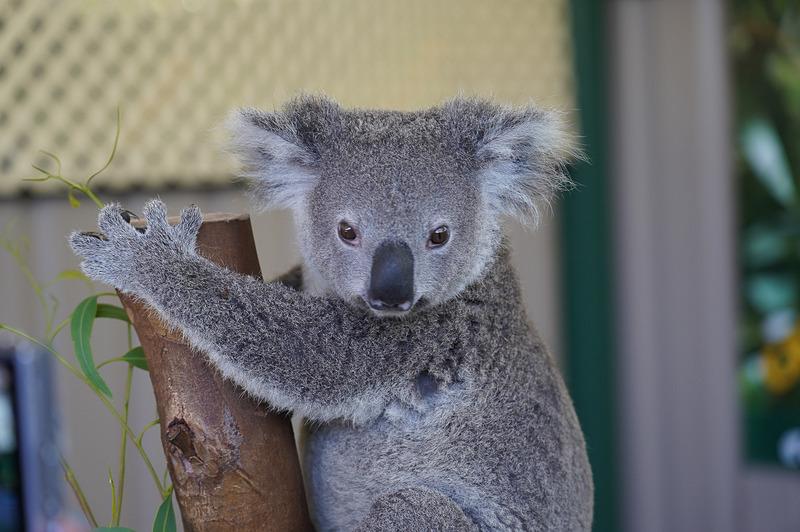 西オーストラリアにはコアラはいない(ユーカリの木が西にはないため)が、もちろん動物園ではコアラと触れ合える体験ツアーは用意されている