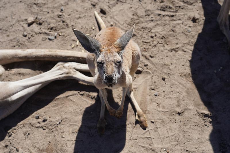 オーストラリアを代表する動物の1つであるカンガルー