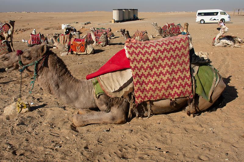 第1パノラマにはラクダがたくさん。乗ることもできる。エジプトのラクダはコロナウイルスの心配はないとのこと
