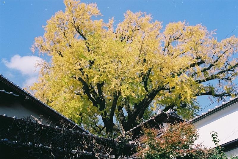 有田の大公孫樹(おおいちょう)