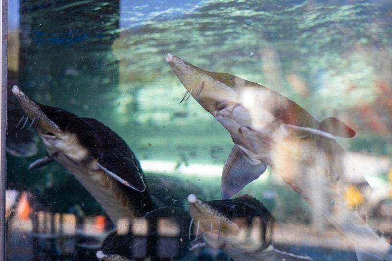 入口の水槽にはチョウザメがうようよ