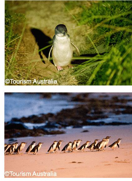 ビクトリア州メルボルン郊外フィリップ島のペンギンパレードを毎晩ライブ配信する