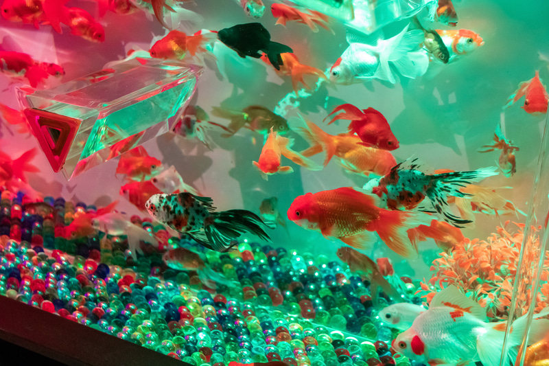 水槽の中を優雅に泳ぐ金魚