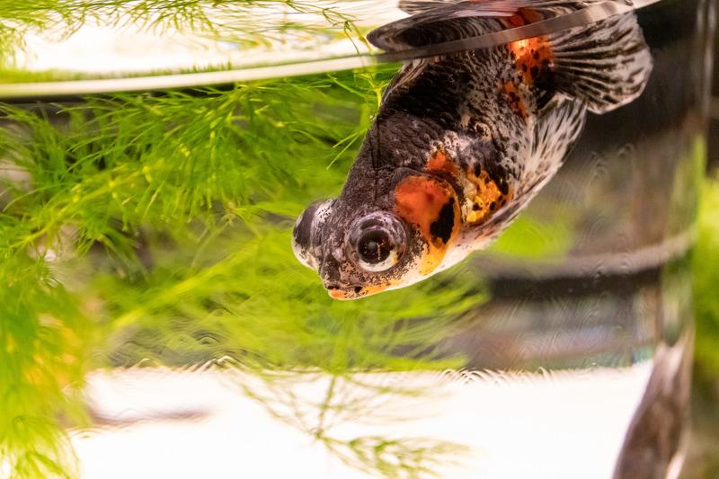 金魚をじっくり鑑賞できる「金魚品評」