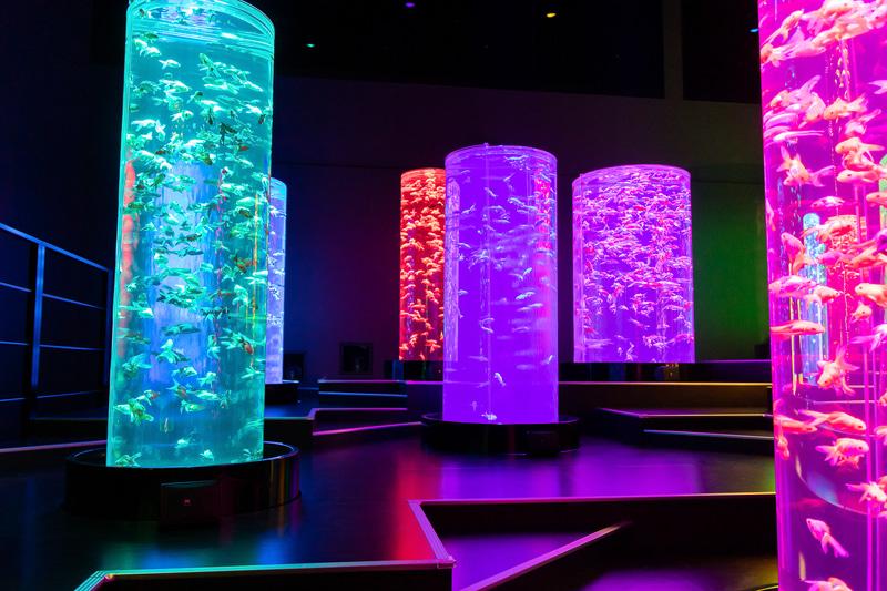 高さのある円柱水槽を数多く並べた「金魚の杜」。七色に変わるライティングの中で多くの金魚が泳ぐ姿はファンタジー小説の一場面のようだ