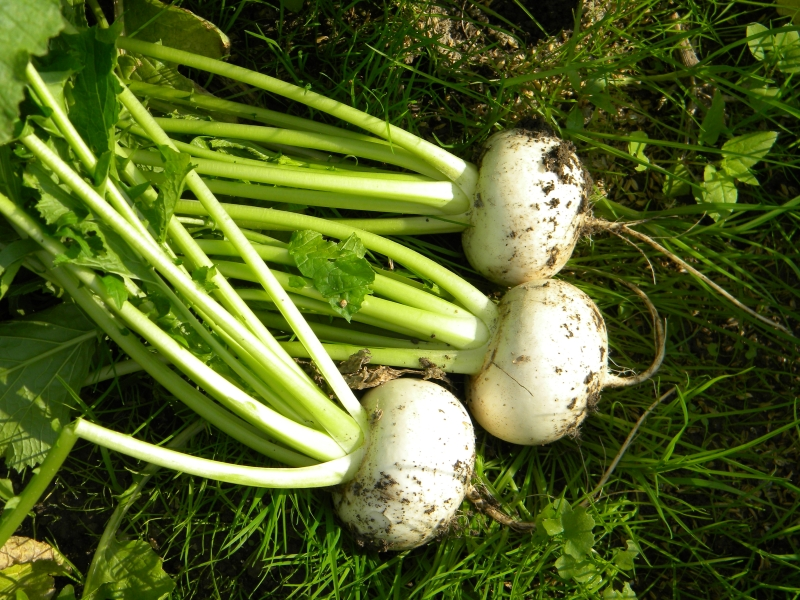 地元の老舗農園で野菜の収穫体験(イメージ)