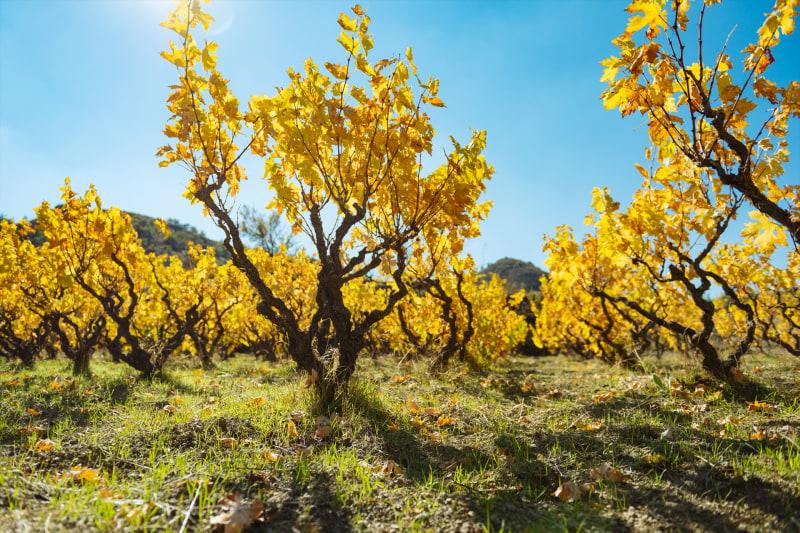 秋のブドウ畑(場所:レメソス、ルバラス村)