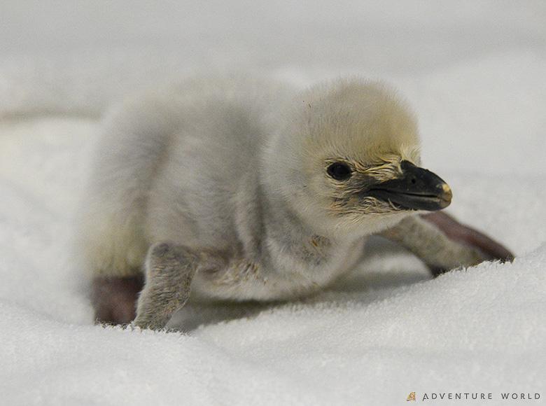 ヒゲペンギンの赤ちゃん
