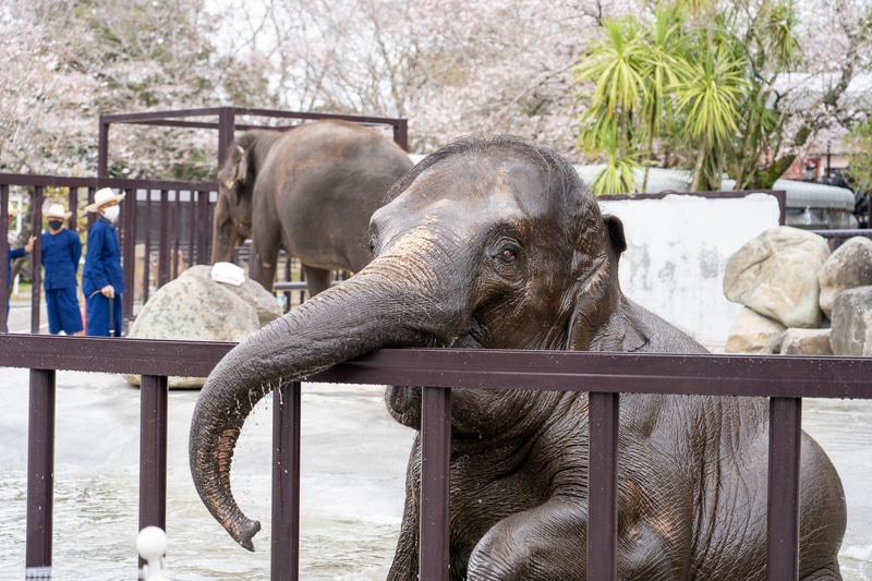 目の前の柵のところまでゾウが来ると本当に近い!