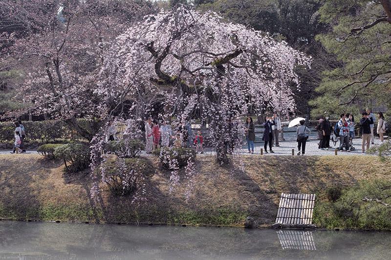 しだれ桜を対岸から撮ったカット