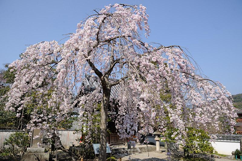 羅漢堂前では見事な桜が咲いていた