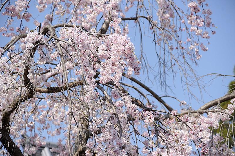 羅漢堂前の桜